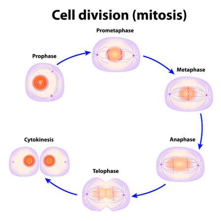animal cell: La divisi�n celular Mitosis esquema