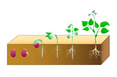plants growing: Germinazione dei semi fagioli