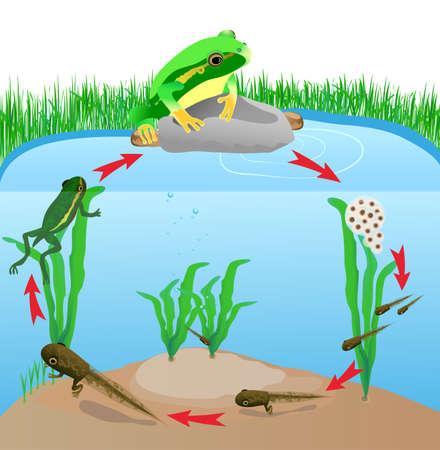 ciclo del agua: ciclo de vida rana de árbol europeo