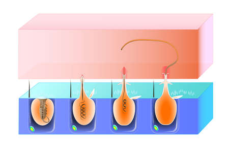 organelle: A diagram of the discharge mechanism of a nematocys  scheme Illustration