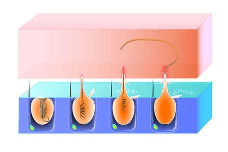 organelle: A diagram of the discharge mechanism of a nematocys  scheme Illustration