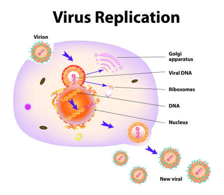 Scheme of virus replication cycle Stock Vector - 15936378