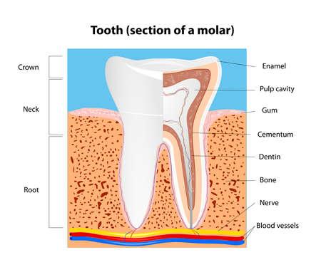 karies: Tand anatomi avsnitt av en mänsklig molar