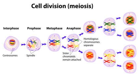 salud sexual: Meiosis La divisi�n celular Vectores