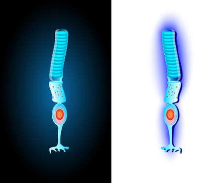 intense: Struttura schematica delle cellule cellule visione periferica per tondino, o barre, sono cellule fotorecettrici nella retina dell'occhio che pu� funzionare in regime meno intenso Vector luce Vettoriali