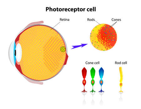 Schematic structure of the retina  Rod cells and cone cells  Vector scheme Vector