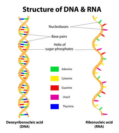 Differences between DNA and RNA   Stock Vector - 17308538