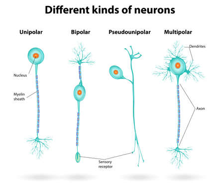 receptor: Different kinds of neurons  Vector scheme structure of a typical neuron Illustration