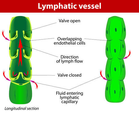 lymph: The internal structure of a lymph vessel