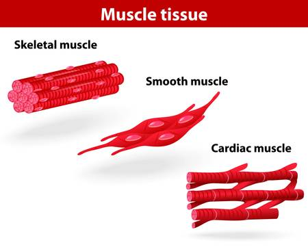 musculoskeletal: Types of muscle tissue  Skeletal muscle, smooth muscle, cardiac muscle  Vector scheme