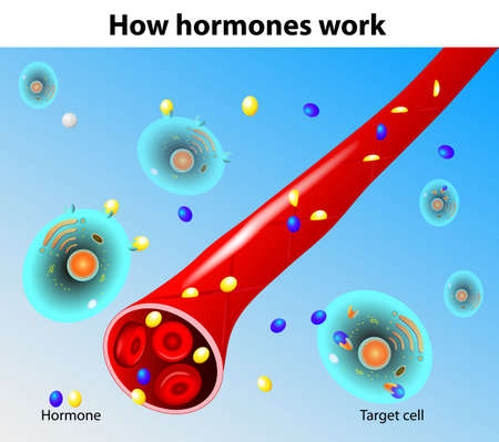 hormonen: Hormonen werken Vector