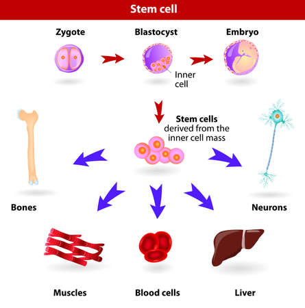 muscle cell: Pluripotent, embryonic stem cells originate as inner cell mass cells within a blastocyst  These stem cells can become any tissue in the body, excluding a placenta  Illustration