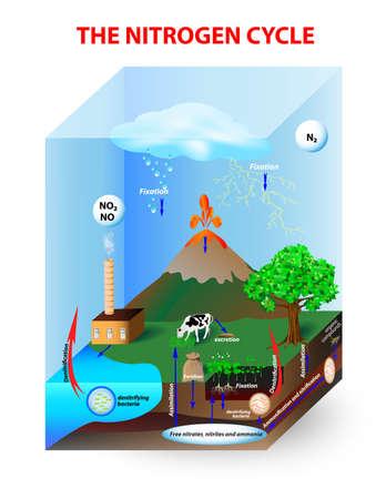 生物学的および物理的なプロセスを通じて図窒素循環プロセスでは窒素は変換する様々 な化学形態間この変換を実行できます。  イラスト・ベクター素材