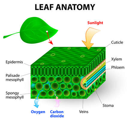 cuticle: leaf anatomy vector diagram  photosynthesis  Chlorophyll is the molecule in leaves that uses the energy in sunlight to turn water and carbon dioxide gas  into sugar and oxygen