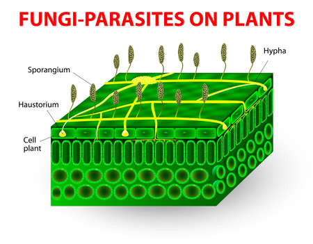 Typical Fungi Cell Fungal Hyphae Structure Fungi Diagram