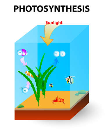 Photosynthesis in the ocean is carried algae  Marine plant use sunlight to perform photosynthesis to generate organic matter in the form of glucose  Stock Vector - 22981797