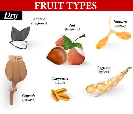 Typy proste owoce są suche. Botaniczne definicja owoców jest organem, który zawiera nasiona, chroniąc je w ich rozwoju. Suszone owoce w dojrzałości składa się z martwych komórek i są podzielone na te, które podzielone otwarte i te, które tego nie robią. Vecto Ilustracje wektorowe