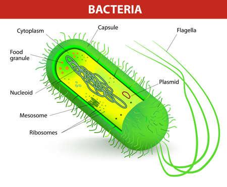 l�pre: Les bact�ries anatomie Diagramme vectoriel cellulaire Illustration