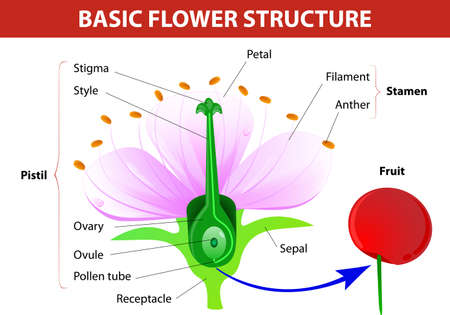 Anatomy of cherry flower  Flower and fruit  Vector diagram