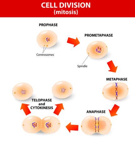 Mitose is het proces waarbij ons lichaam te vervangen cellen. Dochtercellen hebben identieke chromosomen naar bovenliggende cel, genetisch materiaal blijft constant. stappen celdeling. Stock Illustratie