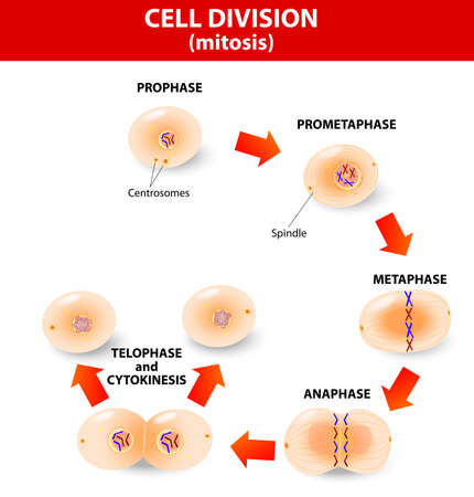 Mitosis is the process by which our bodies replace cells. Daughter cells have identical chromosomes to parent cell, genetic material remains constant. steps  cell division.  Stock Vector - 23241697