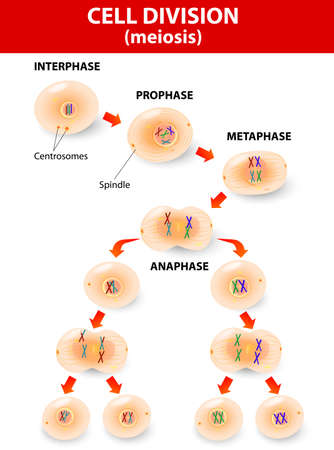 replication: meiosis. Cell division. vector diagram Illustration