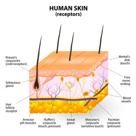überqueren Abschnitt der menschlichen Haut. Vektorgrafik