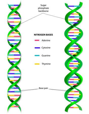 szerkezet: A DNS-molekula egy kettős spirál
