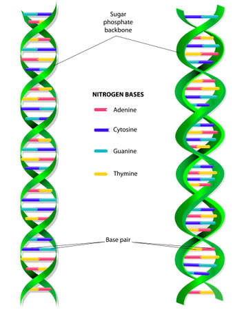 adn humano: La molécula de ADN es una doble hélice Vectores