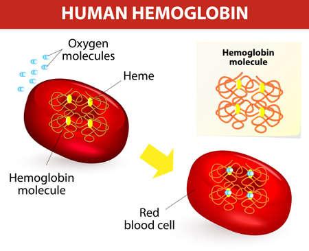 人間のヘモグロビン分子ベクトル図ヘモグロビンの構造は酸素を運ぶ赤血球細胞内の物質  イラスト・ベクター素材