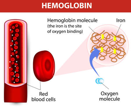 respiration: molecule haemoglobin  Each haemoglobin molecule can bind with 4 oxygen molecules  Vector diagram  Illustration
