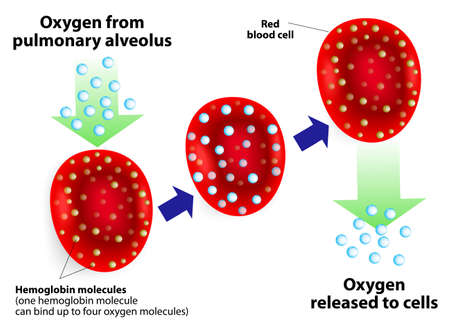 cells biology: Hemoglobin molecules  One hemoglobin molecule can bind up to four oxygen molecules   Illustration