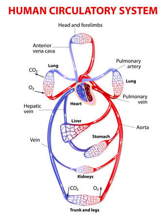 The cardiovascular circulatory system transports food, hormones, metabolic wastes, and gases (oxygen, carbon dioxide) to and from cells. Double circulatory system. Vector