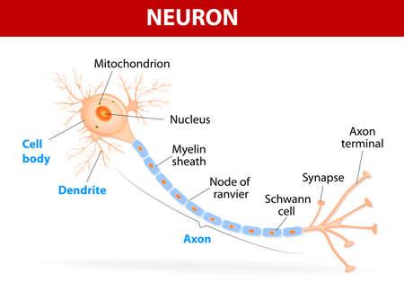 Anatomie van een typisch menselijke neuron (axon, synaps, dendriet, mitochondrion, myelineschede, knooppunt Ranvier en Schwann-cellen). Vector diagram