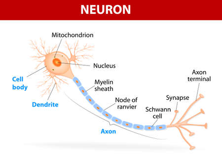 Anatomy of a typical human neuron (axon, synapse, dendrite, mitochondrion,  myelin  sheath, node Ranvier and Schwann cell). Vector diagram Vector