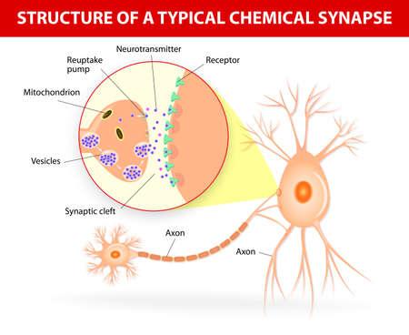 Structuur van een typische chemische synaps. neurotransmitter vrijgeven mechanismen. Neurotransmitters worden verpakt in synaptische blaasjes verzonden signalen van een neuron naar een doelcel over een synaps. Stock Illustratie