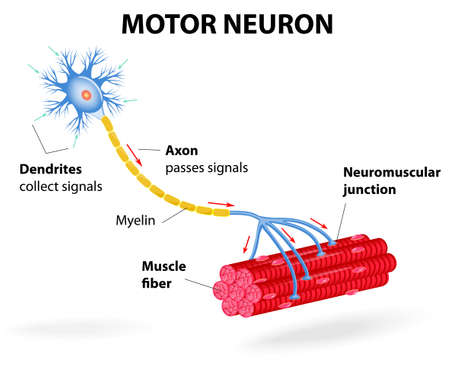 include: structure motor neuron. Vector diagram. Include dendrites, cell body with nucleus, axon, myelin sheath, nodes of Ranvier and motor end plates. The impulses are transmitted through the motor neuron in one direction Illustration