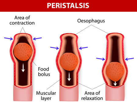 downstream: Peristalsis, or wavelike contractions of the muscles in the outer walls of the digestive tract, carries the bolus by the esophagus. Peristalsis does not only occur in  the esophagus. It continues through the stomach, small intestine, and large intestine.