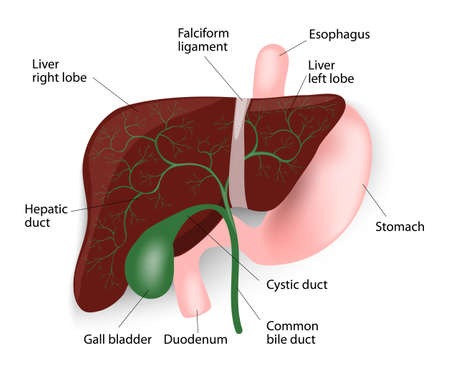 Human Liver Anatomy. Liver, gallbladder, esophagus, stomach and duodenum. Vector diagram