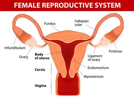 aparato reproductor: Anatom�a humana del sistema reproductivo femenino �tero y las trompas uterinas diagrama vectorial