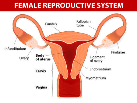 fertilisation: Human anatomy  female reproductive system  Uterus and uterine tubes  Vector diagram