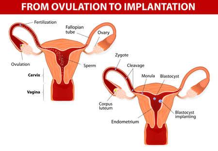 esperma: El desarrollo humano de la anatom�a del embri�n desde la ovulaci�n hasta la implantaci�n del desarrollo humano de la anatom�a del embri�n desde la ovulaci�n hasta la implantaci�n fertilizaci�n, el cigoto, escote, m�rula, blastocisto Vectores