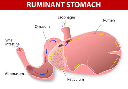sectional: Ruminant stomach  The ruminant species have one stomach that is divided into four compartments  rumen, reticulum, omasum and abomasum  Ruminating mammals include cattle, goats, sheep, giraffes, yaks, deer, camels, llamas, antelope  Illustration