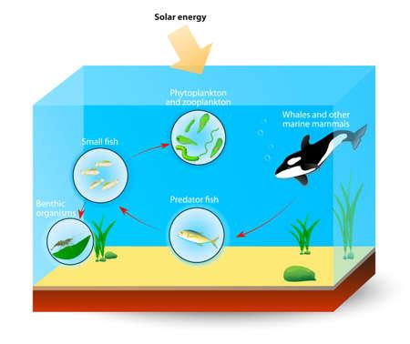 plancton: Simple cadena alimenticia marina. El diagrama muestra las relaciones entre los organismos que viven en un océano. Vectores