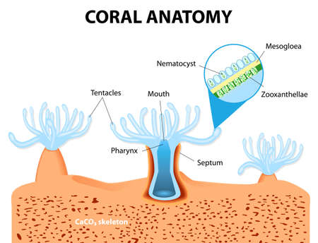 live coral: Structure coral polyp. Coral Anatomy. The coral polyps tend to live in colonies and form the building blocks of the reef.