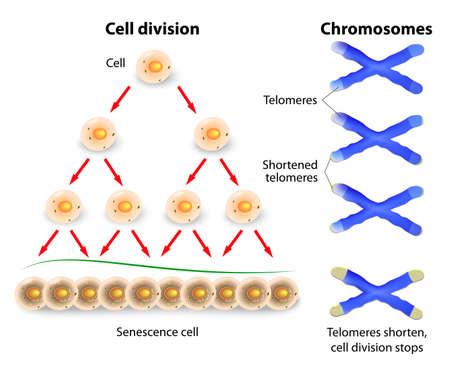 テロメア エンド ゲノムのコーディング DNA を保護するために役立ちます。とき、テロメア細胞老化重要な長さに短縮し、オフに死にます。  イラスト・ベクター素材