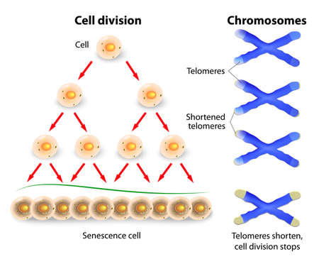 Telomery konce slouží k ochraně kódování DNA genomu. Když se telomery zkracují na kritické délky, buněčné stárnutí a odumírají.
