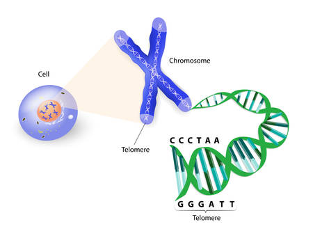 A telomere is a repeating sequence of double-stranded DNA located at the ends of chromosomes. Each time a cell divides, the telomeres become shorter. Eventually, the telomeres become so short that the cell can no longer divide. Vector