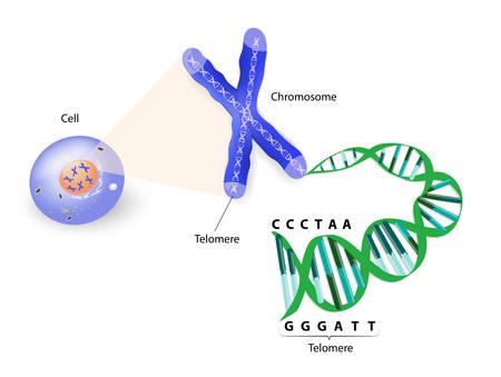 Un télomère est une séquence de répétition de l'ADN double brin située à l'extrémité des chromosomes. Chaque fois qu'une cellule se divise, les télomères se raccourcissent. Finalement, les télomères deviennent tellement court que la cellule ne peut plus se diviser. Banque d'images - 25471696