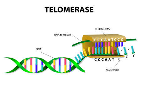 replication: Telomerase is an enzyme that lengthens telomeres by adding on repeating sequences of DNA.